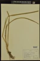 Acorus americanus image
