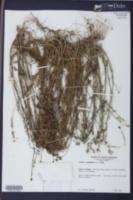 Nuttallanthus canadensis image