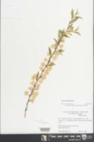 Image of Prunus tenella