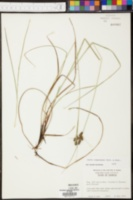Carex careyana image