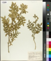 Image of Hesperethusa crenulata