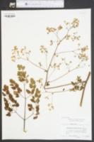 Thalictrum macrostylum image