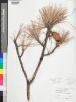 Image of Pinus glabra