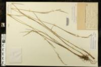 Image of Panicum tenerum