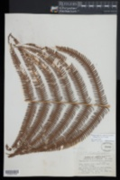 Amauropelta cheilanthoides image