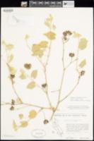 Abutilon californicum image