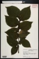 Ulmus procera image