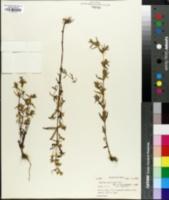 Image of Swertia paniculata