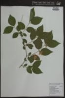 Lonicera fragrantissima image