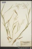 Panicum pseudopubescens image