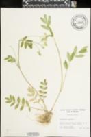 Polemonium reptans image