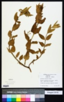 Image of Asclepias pratensis