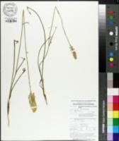 Image of Stenanthium densum