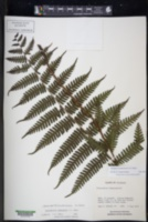 Amauropelta mombachensis image