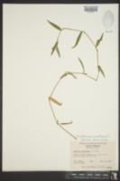 Murdannia nudiflora image