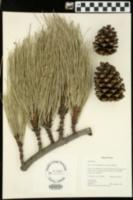 Pinus arizonica image