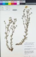 Eriophyllum lanatum image