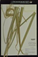 Miscanthus sacchariflorus image