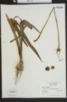 Crinum americanum image