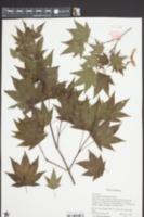 Image of Acer duplicatoserratum