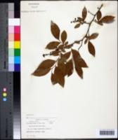 Image of Vaccinium marianum