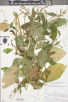 Image of Achyranthes japonica