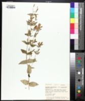 Image of Gentianella quinquefolia