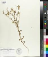 Emmenanthe penduliflora image