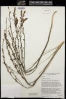 Asphodelus fistulosus image