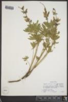 Lupinus sericeus var. sericeus image