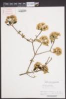 Viburnum x burkwoodii image