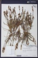Plantago hookeriana image