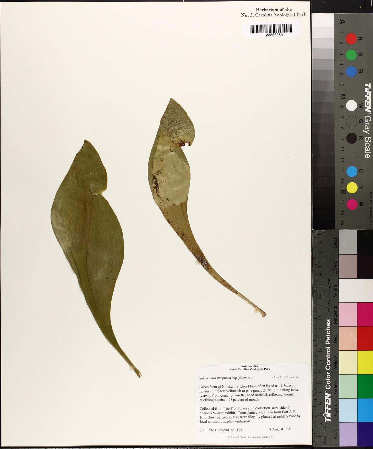 Sarracenia purpurea var. purpurea image