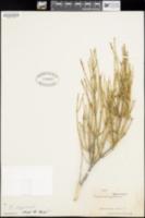 Ephedra aspera image
