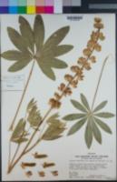 Lupinus latifolius subsp. parishii image