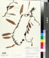 Image of Pleopeltis fructuosa