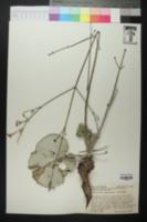 Image of Anulocaulis gypsogenus