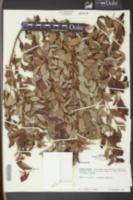 Liquidambar styraciflua image