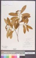 Image of Cotoneaster henryanus