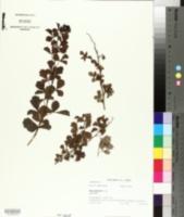 Image of Searsia dentata
