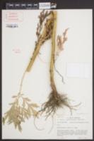 Image of Artemisia selengensis