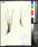 Image of Sisyrinchium albidum
