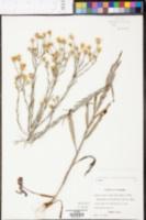 Heterotheca graminifolia image