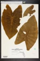 Image of Alocasia x mortfontanensis