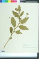 Image of Solanum villosum