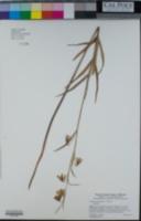 Image of Fritillaria micrantha