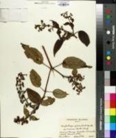 Image of Phyllostegia glabra