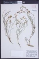 Image of Matthiola fruticulosa