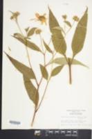 Image of Helianthus reindutus