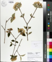 Image of Viburnum x burkwoodii